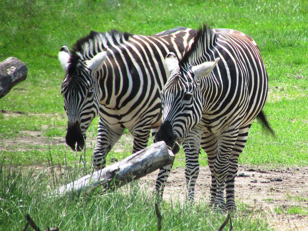 Zebras roaming and feeding