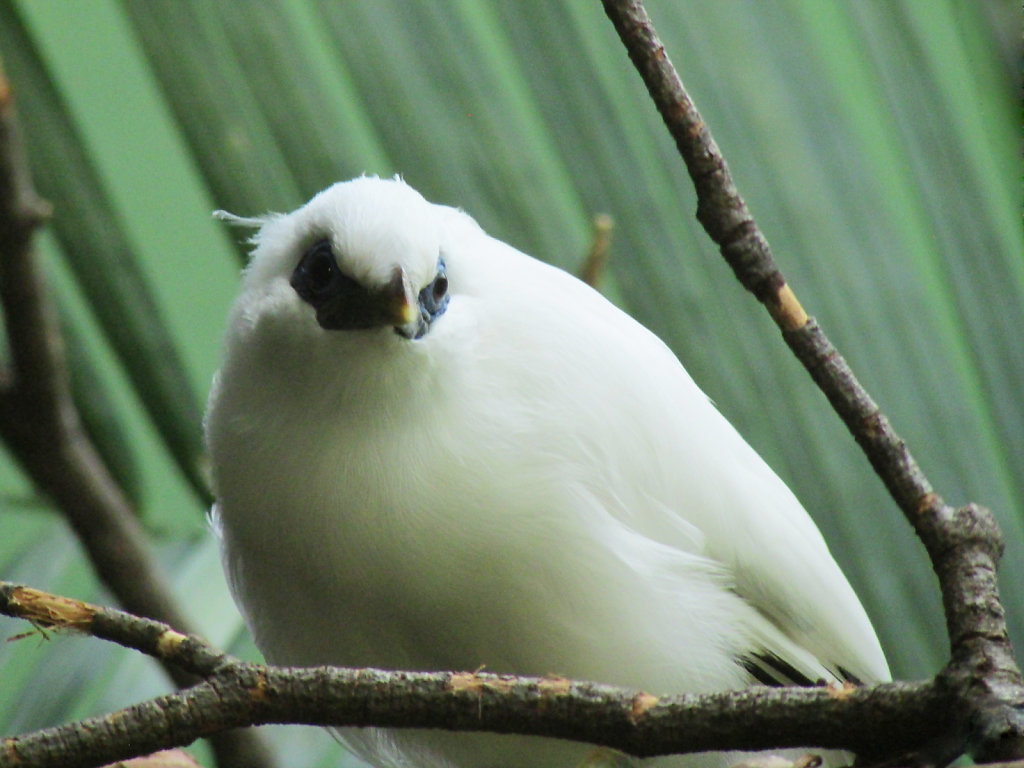 A rounded plump white bird perched at the aviary in the zoo