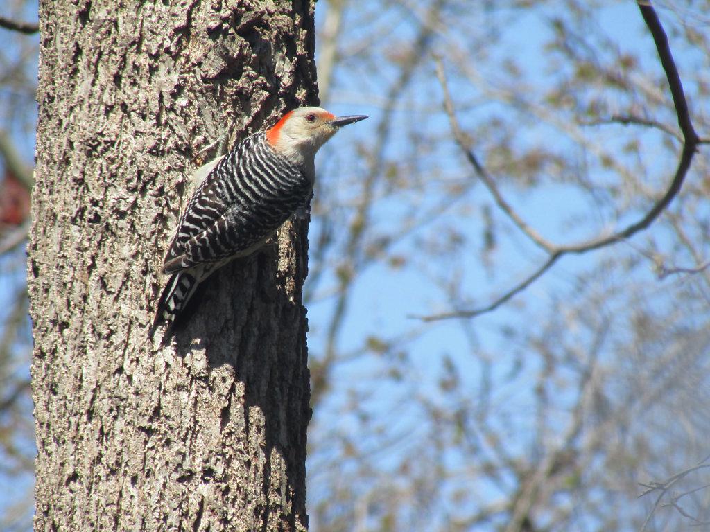 Red headed woodpecker hanging on tree