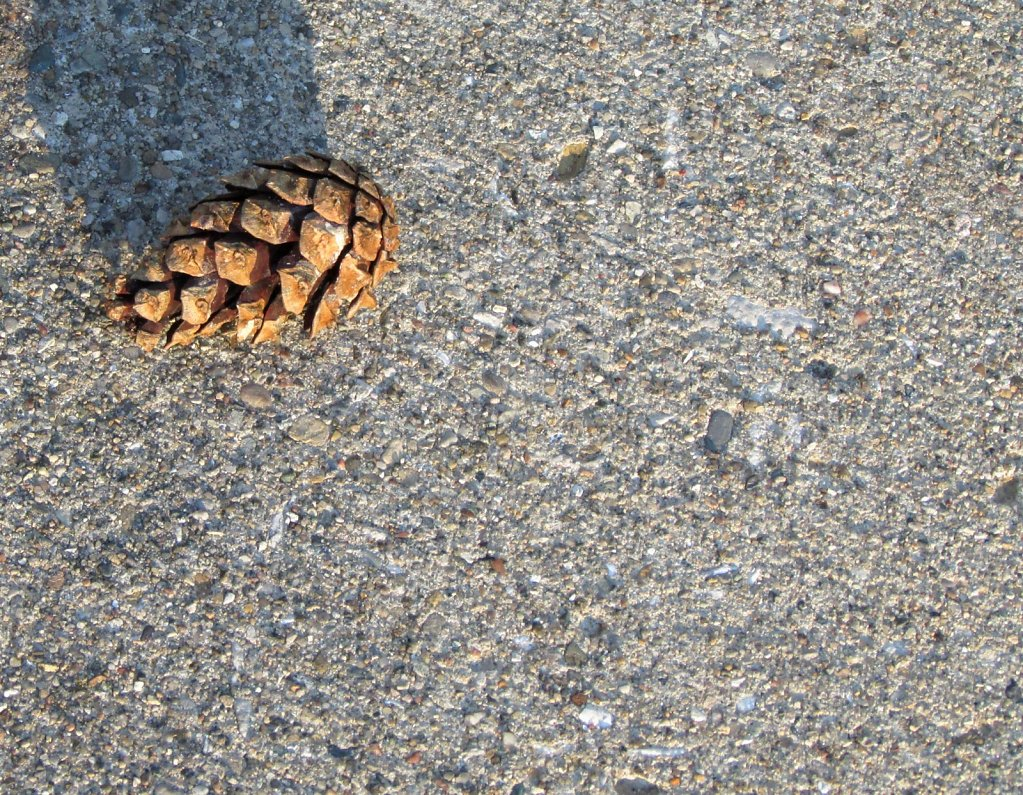 Pine cone on a concrete sidewalk