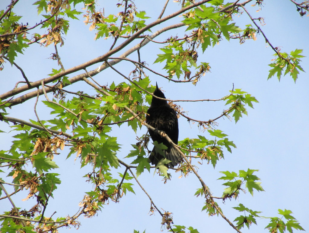 Underside of a black bird resting on tree branch