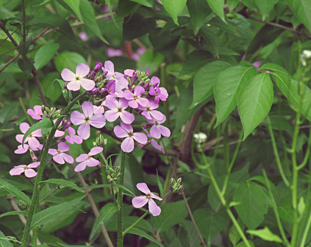 Purple flowers growing along shrubery