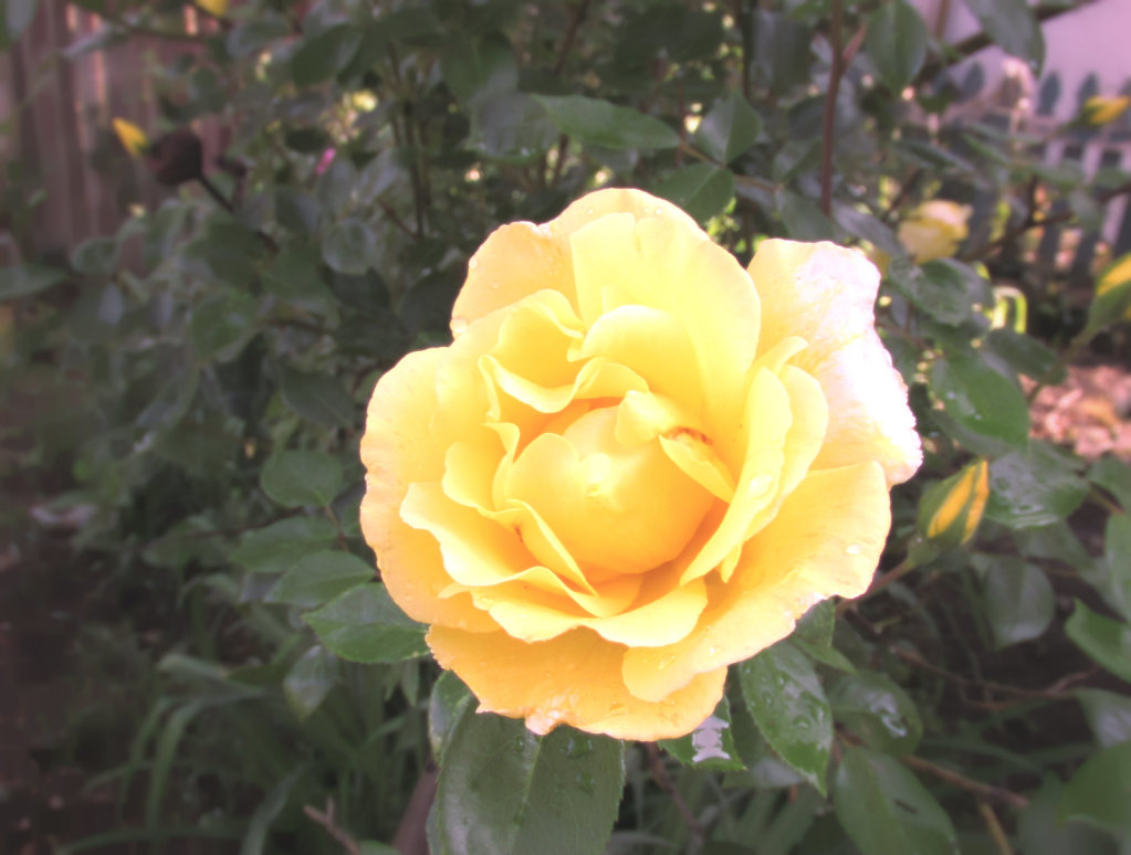 Yellow rose with vintage effect