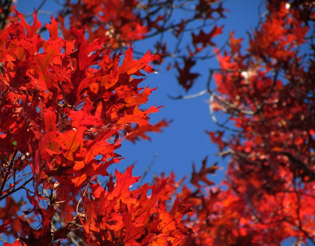 Bright red leaves on an oak tree