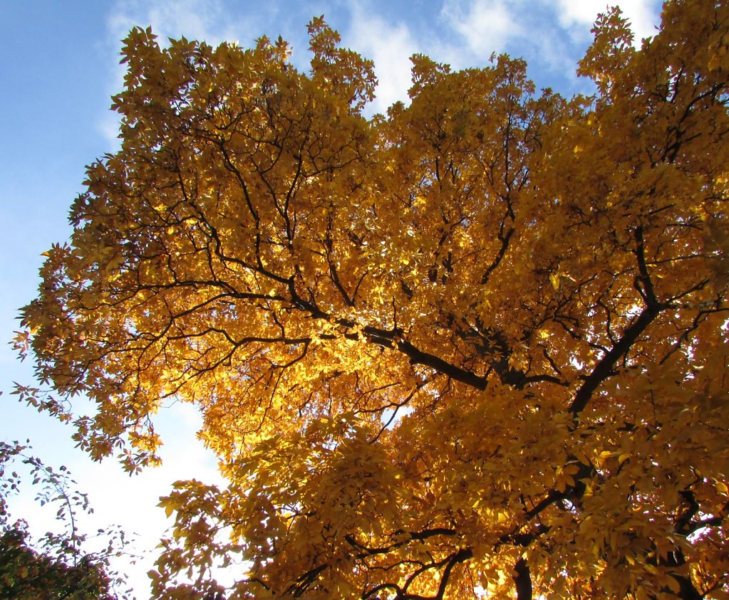 Golden leaves on a tree
