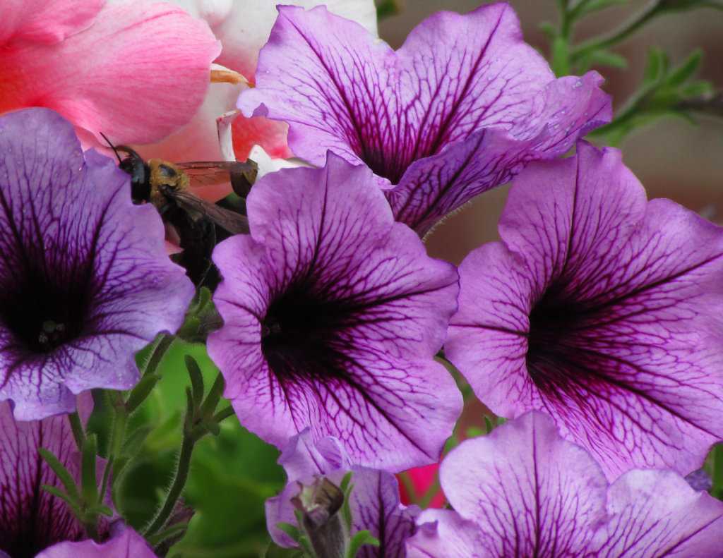 rich purple petunias with a bumble bee