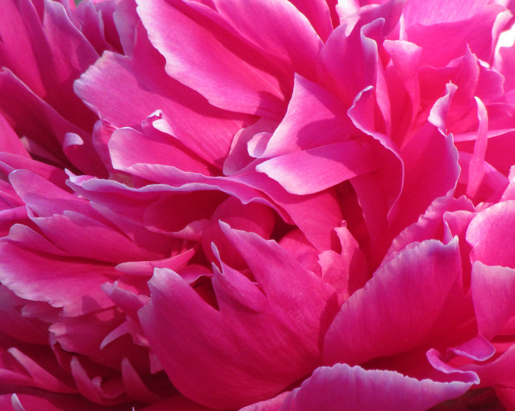 bright fuchsia peony bloom