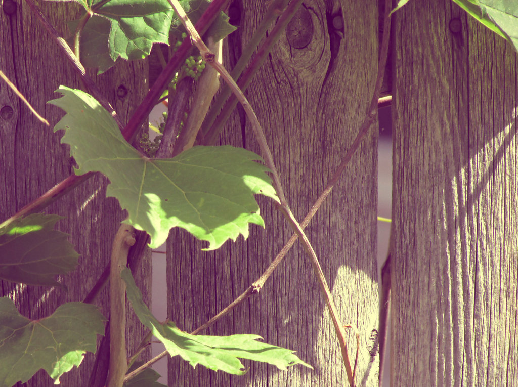 Wild grape vine background