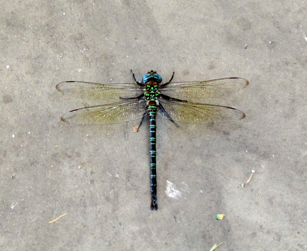 The blue and green Dragonfly